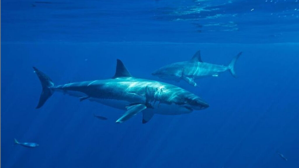 Ocearch is tracking 70 sharks near the East Coast. Great white sharks are hovering close to the Jersey Shore.