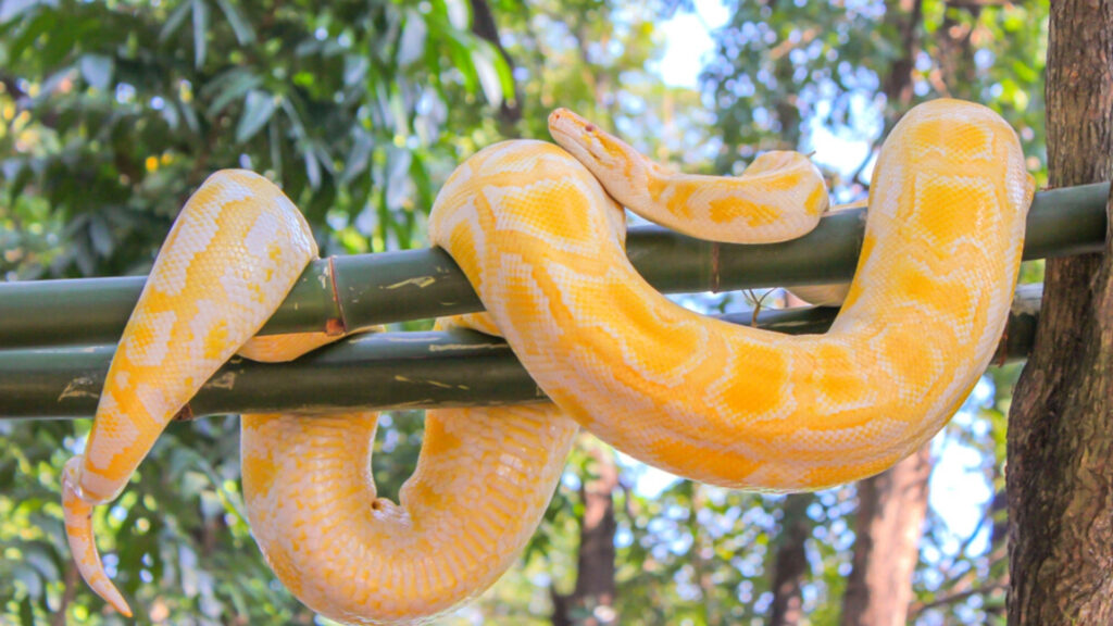 Albino reticulated pythons can grow as large as 29-feet! The dangerous reptile was found slithering in an Austrian man's toilet, and gave him a nip in the genitals as well as the freight of his life!