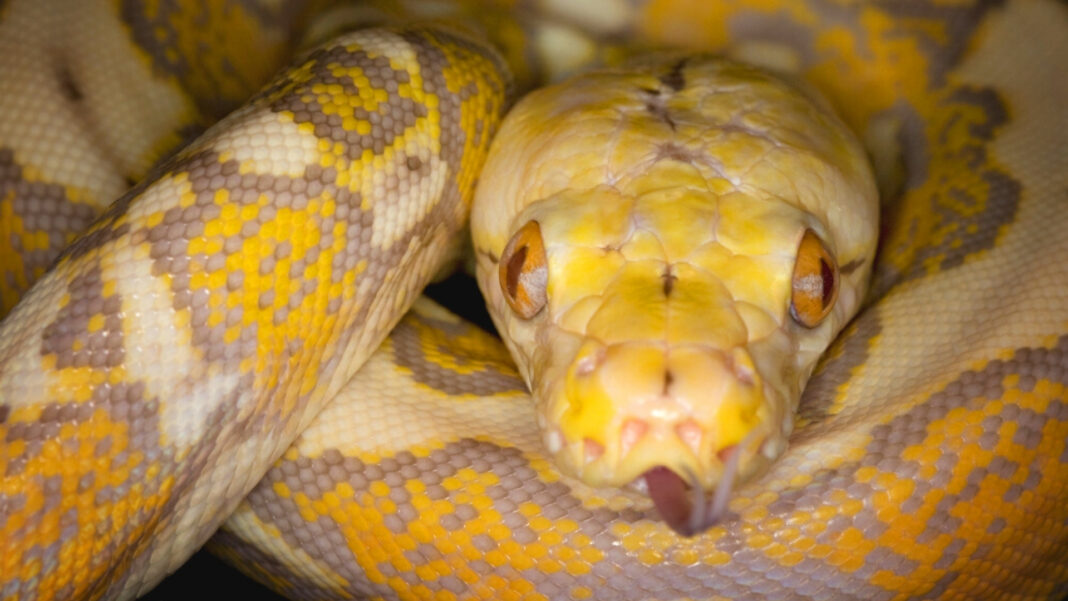Look Twice! Snake Bites 65-Year-Old Austrian Man While He Sits On The Toilet